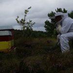 Velfortjent pause eter flytting av kuber til lyngtrekk