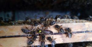 Honningbier og Dronning